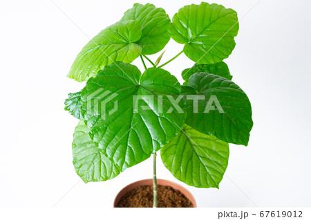 明るい綺麗な観葉植物(フィカス・ウンベラータ)の写真 白背景 67619012