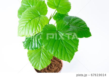 明るい綺麗な観葉植物(フィカス・ウンベラータ)の写真 白背景 67619014