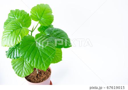 明るい綺麗な観葉植物(フィカス・ウンベラータ)の写真 白背景 67619015