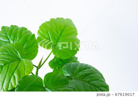 明るい綺麗な観葉植物(フィカス・ウンベラータ)の写真 白背景 67619017