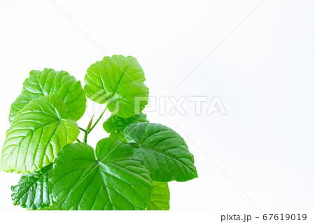 明るい綺麗な観葉植物(フィカス・ウンベラータ)の写真 白背景 67619019