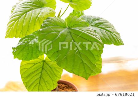 明るい綺麗な観葉植物(フィカス・ウンベラータ)の写真 白背景 67619021
