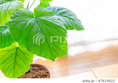 明るい綺麗な観葉植物(フィカス・ウンベラータ)の写真 白背景 67619022
