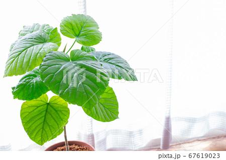 明るい綺麗な観葉植物(フィカス・ウンベラータ)の写真 白背景 67619023
