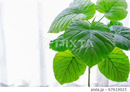 明るい綺麗な観葉植物(フィカス・ウンベラータ)の写真 白背景 67619025