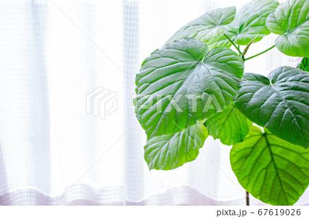 明るい綺麗な観葉植物(フィカス・ウンベラータ)の写真 白背景 67619026