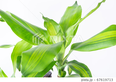 明るい綺麗な観葉植物(ドラセナ・マッサンゲアナ(幸福の木)) 67619713