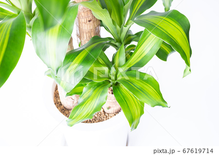 明るい綺麗な観葉植物(ドラセナ・マッサンゲアナ(幸福の木)) 67619714