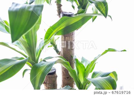 明るい綺麗な観葉植物(ドラセナ・マッサンゲアナ(幸福の木)) 67619716