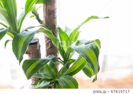 明るい綺麗な観葉植物(ドラセナ・マッサンゲアナ(幸福の木)) 67619717