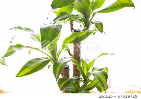 明るい綺麗な観葉植物(ドラセナ・マッサンゲアナ(幸福の木)) 67619719