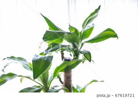 明るい綺麗な観葉植物(ドラセナ・マッサンゲアナ(幸福の木)) 67619721