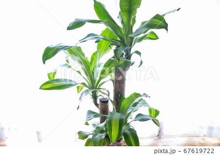 明るい綺麗な観葉植物(ドラセナ・マッサンゲアナ(幸福の木)) 67619722
