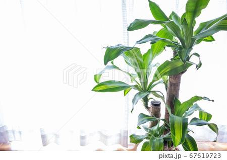 明るい綺麗な観葉植物(ドラセナ・マッサンゲアナ(幸福の木)) 67619723