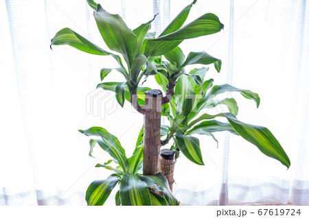 明るい綺麗な観葉植物(ドラセナ・マッサンゲアナ(幸福の木)) 67619724