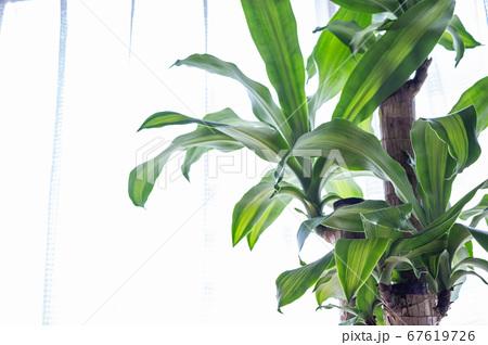 明るい綺麗な観葉植物(ドラセナ・マッサンゲアナ(幸福の木)) 67619726