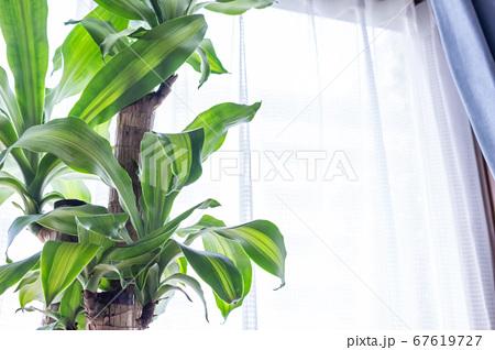 明るい綺麗な観葉植物(ドラセナ・マッサンゲアナ(幸福の木)) 67619727