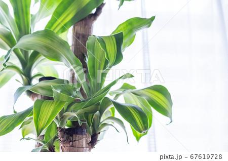 明るい綺麗な観葉植物(ドラセナ・マッサンゲアナ(幸福の木)) 67619728