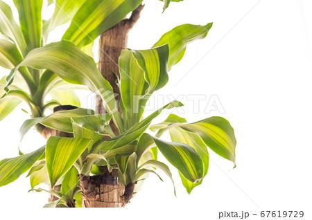 明るい綺麗な観葉植物(ドラセナ・マッサンゲアナ(幸福の木)) 67619729
