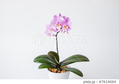シンプルなミニ胡蝶蘭の花 白背景 67619884