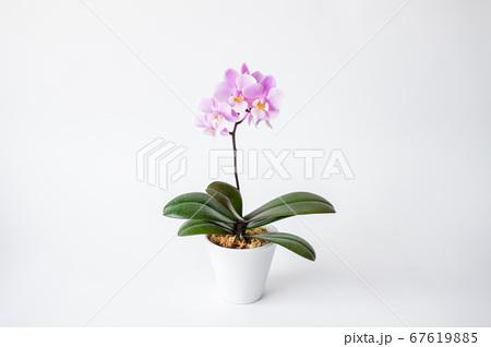 シンプルなミニ胡蝶蘭の花 白背景 67619885