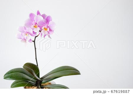 シンプルなミニ胡蝶蘭の花 白背景 67619887