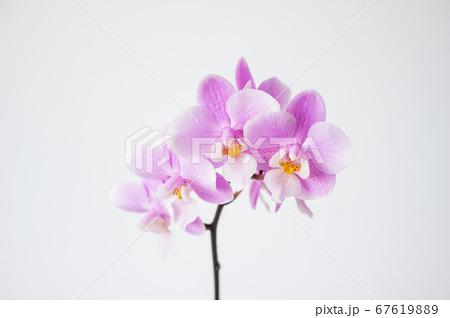 シンプルなミニ胡蝶蘭の花 白背景 67619889