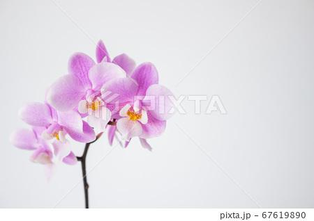 シンプルなミニ胡蝶蘭の花 白背景 67619890