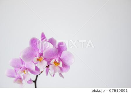 シンプルなミニ胡蝶蘭の花 白背景 67619891