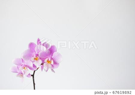 シンプルなミニ胡蝶蘭の花 白背景 67619892
