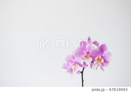 シンプルなミニ胡蝶蘭の花 白背景 67619893
