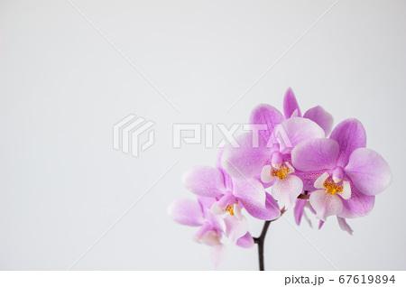 シンプルなミニ胡蝶蘭の花 白背景 67619894