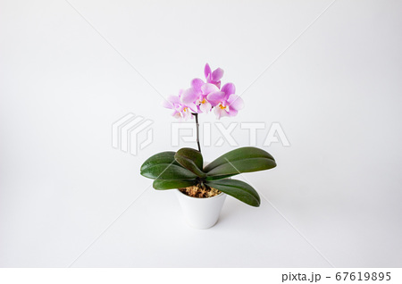 シンプルなミニ胡蝶蘭の花 白背景 67619895
