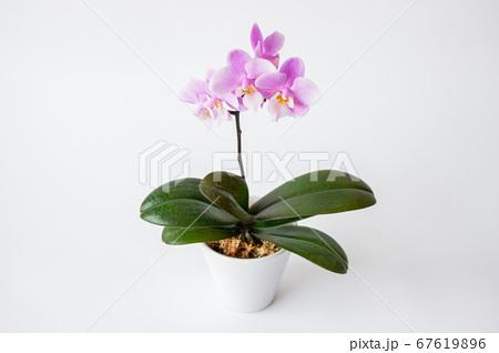 シンプルなミニ胡蝶蘭の花 白背景 67619896