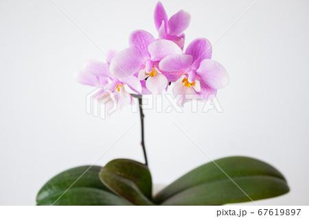 シンプルなミニ胡蝶蘭の花 白背景 67619897