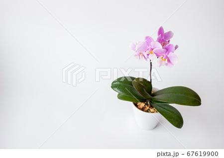 シンプルなミニ胡蝶蘭の花 白背景 67619900