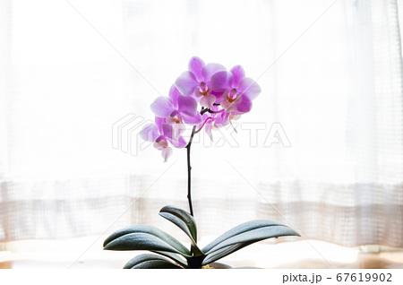 シンプルなミニ胡蝶蘭の花 白背景 67619902