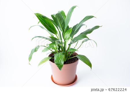 明るい綺麗な観葉植物(スパティフィラム) 白背景 67622224