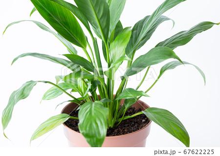 明るい綺麗な観葉植物(スパティフィラム) 白背景 67622225