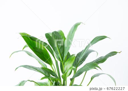 明るい綺麗な観葉植物(スパティフィラム) 白背景 67622227