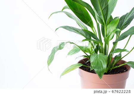明るい綺麗な観葉植物(スパティフィラム) 白背景 67622228