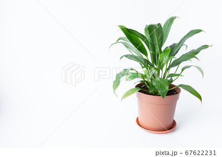 明るい綺麗な観葉植物(スパティフィラム) 白背景 67622231