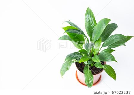 明るい綺麗な観葉植物(スパティフィラム) 白背景 67622235