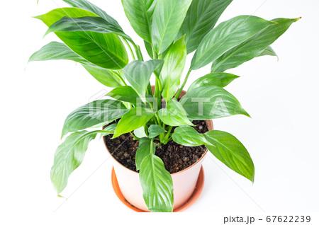 明るい綺麗な観葉植物(スパティフィラム) 白背景 67622239
