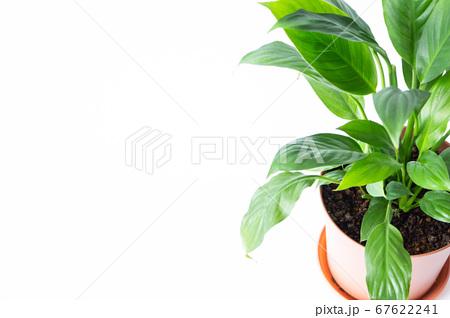 明るい綺麗な観葉植物(スパティフィラム) 白背景 67622241