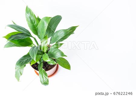 明るい綺麗な観葉植物(スパティフィラム) 白背景 67622246