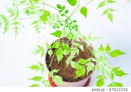 明るい綺麗な観葉植物(ステレオスペルマム) 67622256