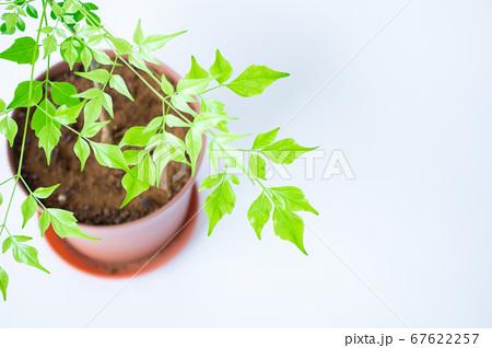 明るい綺麗な観葉植物(ステレオスペルマム) 67622257