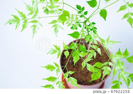 明るい綺麗な観葉植物(ステレオスペルマム) 67622258