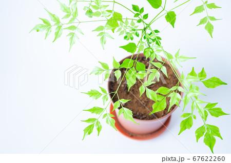 明るい綺麗な観葉植物(ステレオスペルマム) 67622260